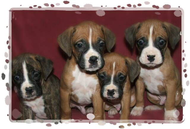Boxer puppies for sale by Ontario Boxer Breeder